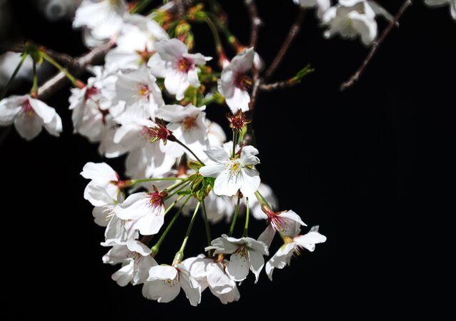 スプートニク日本にフランスから「桜餅」が届く