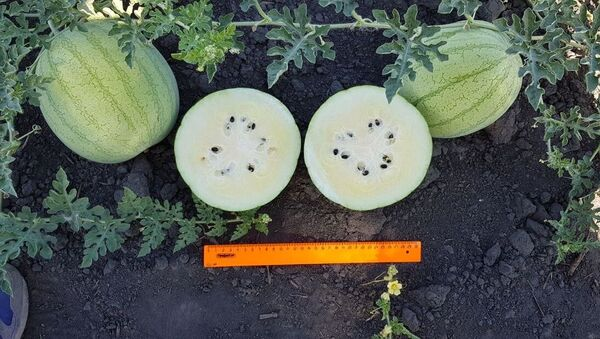 Арбузы со вкусом лайма, выведенные на селекционно-семеноводческом предприятии Мастер семя в Астраханской области - Sputnik 日本