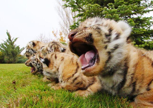 赤ちゃんトラ