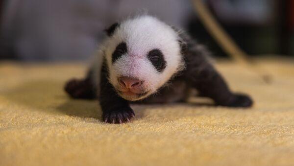 スミソニアン国立動物園 パンダの赤ちゃん - Sputnik 日本
