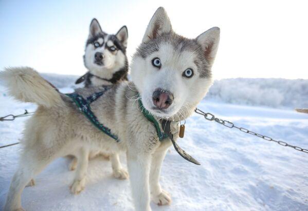 ムルマンスク州で犬ぞりを引くシベリアンハスキー - Sputnik 日本
