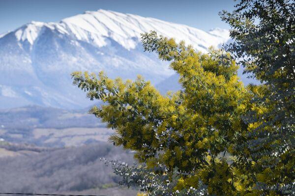 雪に覆われたソチの山々とミモザの木 - Sputnik 日本