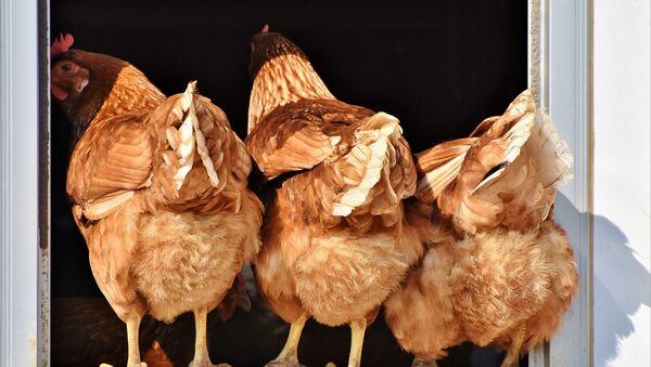 千葉県で鳥インフルエンザが確認 36万羽殺処分へ - Sputnik 日本