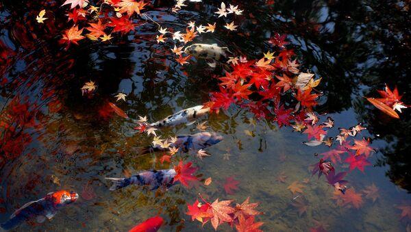 水面に浮かぶ紅葉と鯉 - Sputnik 日本