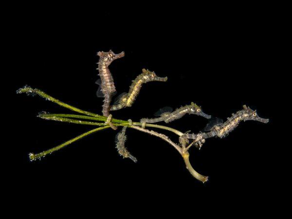「コンパクトマクロ」部門1位入賞作品『5 Baby Seahorses』 PT Hirschfield氏 - Sputnik 日本
