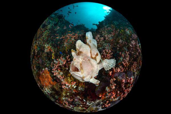 「コンパクト・広角」部門1位入賞作品『Giant Frogfish(オオモンカエルアンコウ)』 Enrico Somogyi氏 - Sputnik 日本
