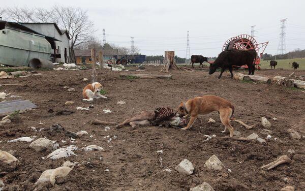死んだ子牛の肉をむさぼる野良化した犬 - Sputnik 日本