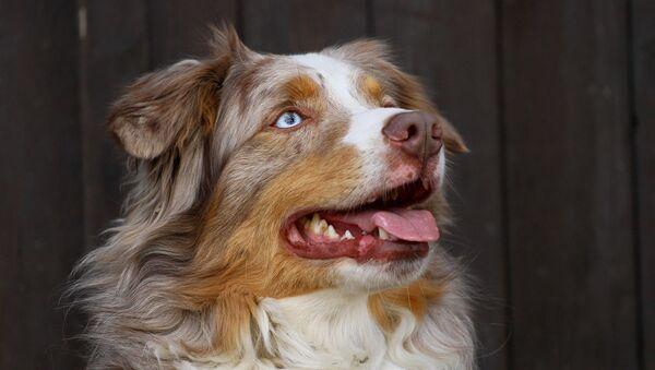 犬 - Sputnik 日本
