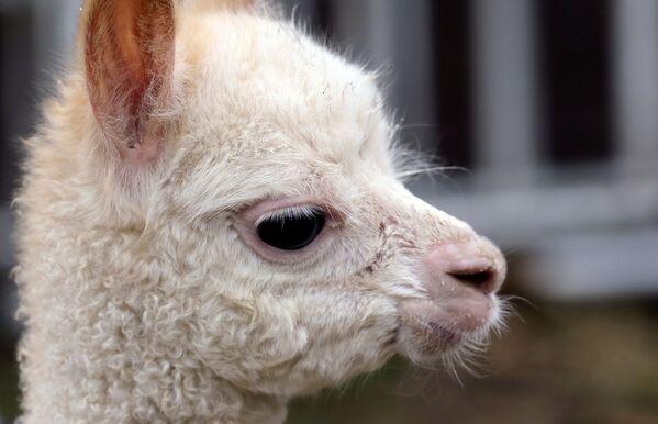 3本足のアルパカの赤ちゃん、マリー・ホープ - Sputnik 日本