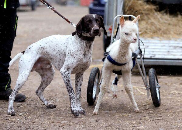 ドイツ・フライゼンの牧場を歩くマリー・ホープと犬のエルコ - Sputnik 日本