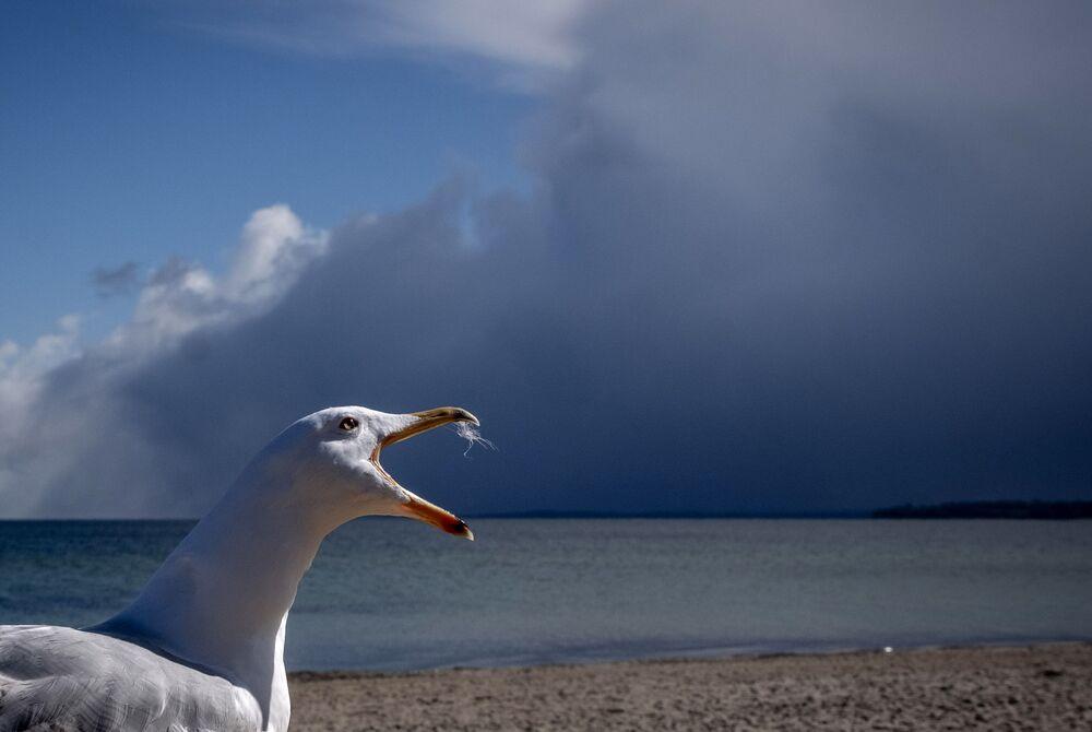 ドイツのバルト海のビーチで鳴くカモメ