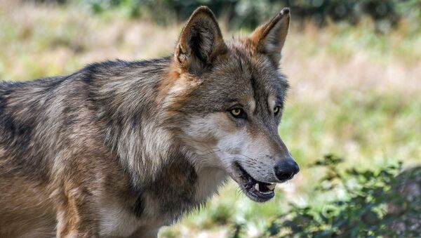 オオカミ - Sputnik 日本