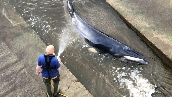 テムズ川で立ち往生の鯨 - Sputnik 日本