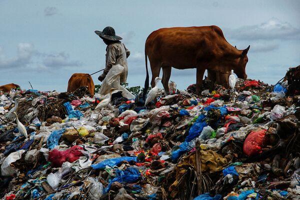 インドネシア・スマトラ島ロークスマウェで、ラマダンの終了を祝うイド・アル=フィトルの後に集められたゴミの山で牛に草を食ませる牧畜民 - Sputnik 日本