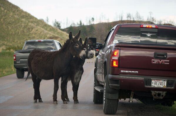 サウスダコタ州にあるカスター州立公園のワイルドライフ・ループ・ロードで、食べ物を求め車を呼び止めるロバ - Sputnik 日本