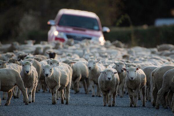 ニュージーランド・アシュバートンの道路に放牧されたヒツジの群れ - Sputnik 日本