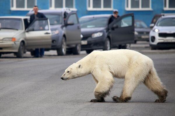ロシア・ノリリスクの道路を放浪するホッキョクグマ - Sputnik 日本