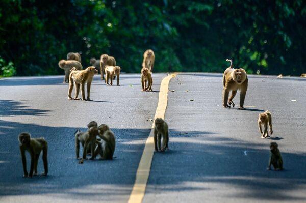 タイ・バンコク郊外にあるカオヤイ国立公園で、道路を渡るマカク - Sputnik 日本