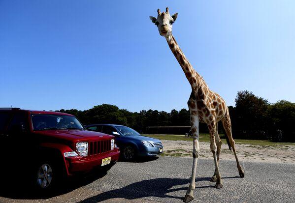 米ニュージャージー州ジャクソン・タウンシップの遊園地「シックスフラッグス・グレート・アドベンチャー」内の道路で、2台の車の前を横切るキリン - Sputnik 日本