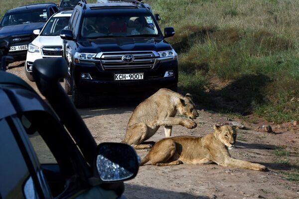 ケニア・ナイロビのナイロビ国立公園で、道路脇に横たわる2頭のライオン - Sputnik 日本