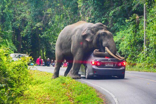 タイ・バンコク郊外にあるカオヤイ国立公園の道路上で車をとめる野生のゾウ - Sputnik 日本