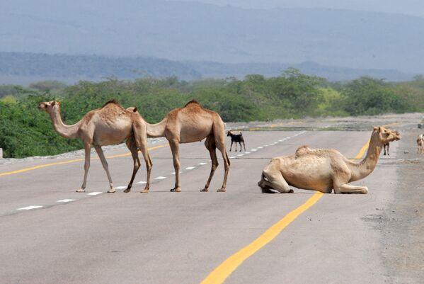 イエメンのアビヤン県とシャブワ県を結ぶ海岸沿いの道路で一休みする3頭のラクダ - Sputnik 日本