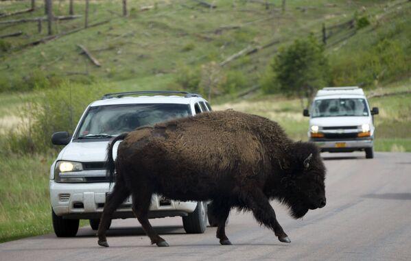 サウスダコタ州にあるカスター州立公園のワイルドライフ・ループ・ロードで、車の前を横切るバイソン - Sputnik 日本