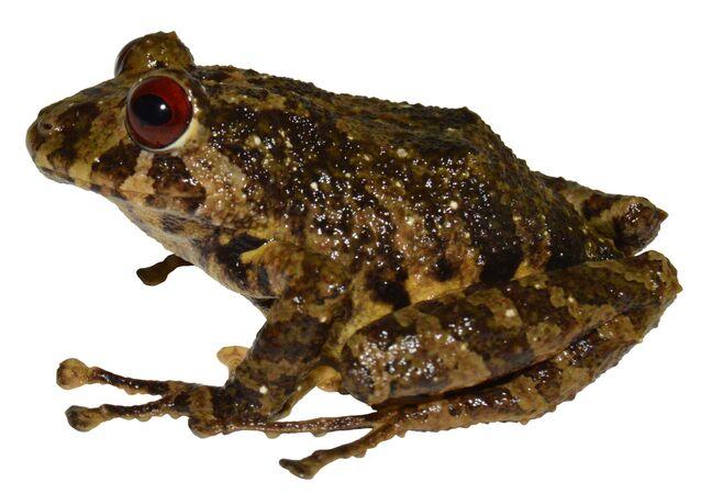 新種アマガエルの名は「レッド・ツェッペリン」