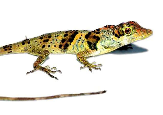 エクアドル 新種のトカゲ