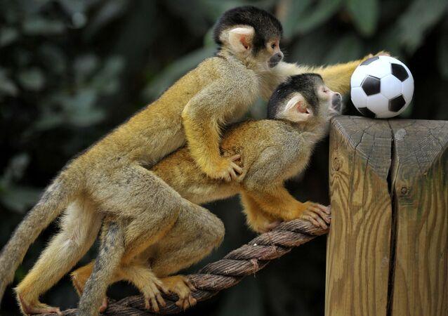 英ロンドン動物園で、サッカーボールのおもちゃで遊ぶボリビアリスザルたち