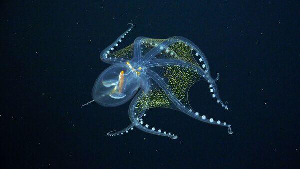 Осьминог Vitreledonella richardi - Sputnik 日本
