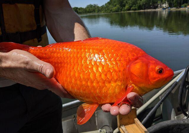 巨大な金魚