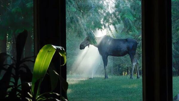 神秘的なショット:ヘラジカが裏庭のスプリンクラーで水浴び - Sputnik 日本