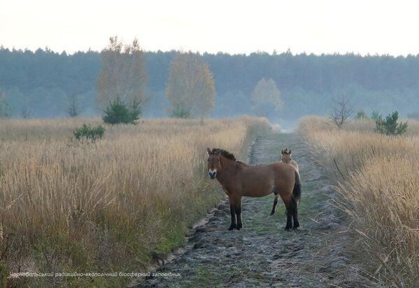 チェルノブイリ立入禁止区域に生息する野生馬 - Sputnik 日本