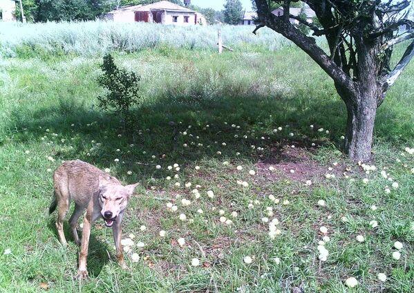 チェルノブイリ立入禁止区域に生息するオオカミ - Sputnik 日本