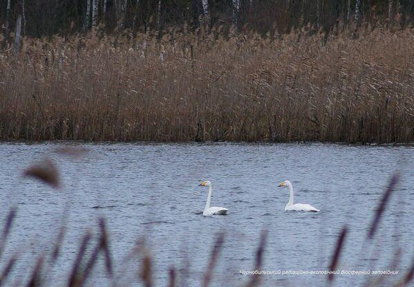 チェルノブイリ立入禁止区域に生息する白鳥 - Sputnik 日本