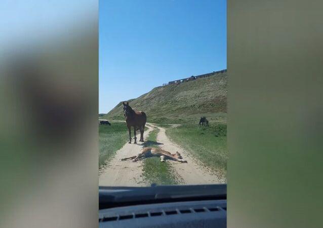 道のど真ん中でスヤスヤ 子馬が車を通せんぼ