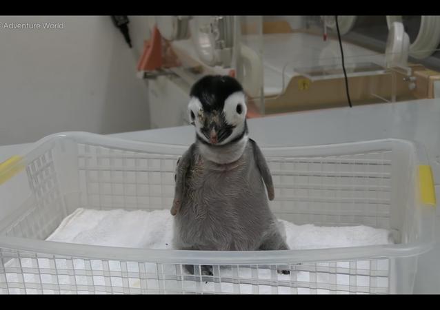 【エンペラーペンギンの赤ちゃん】初!魚の切り身