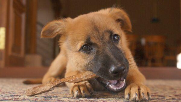 ジャーマン・シェパードの子犬 - Sputnik 日本
