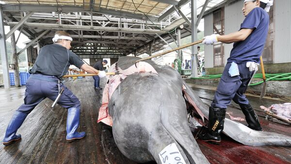 Fishermen slaughter a 10m-long bottlenose whale at the Wada port in Minami-Boso city, Chiba prefecture, east of Tokyo - Sputnik 日本