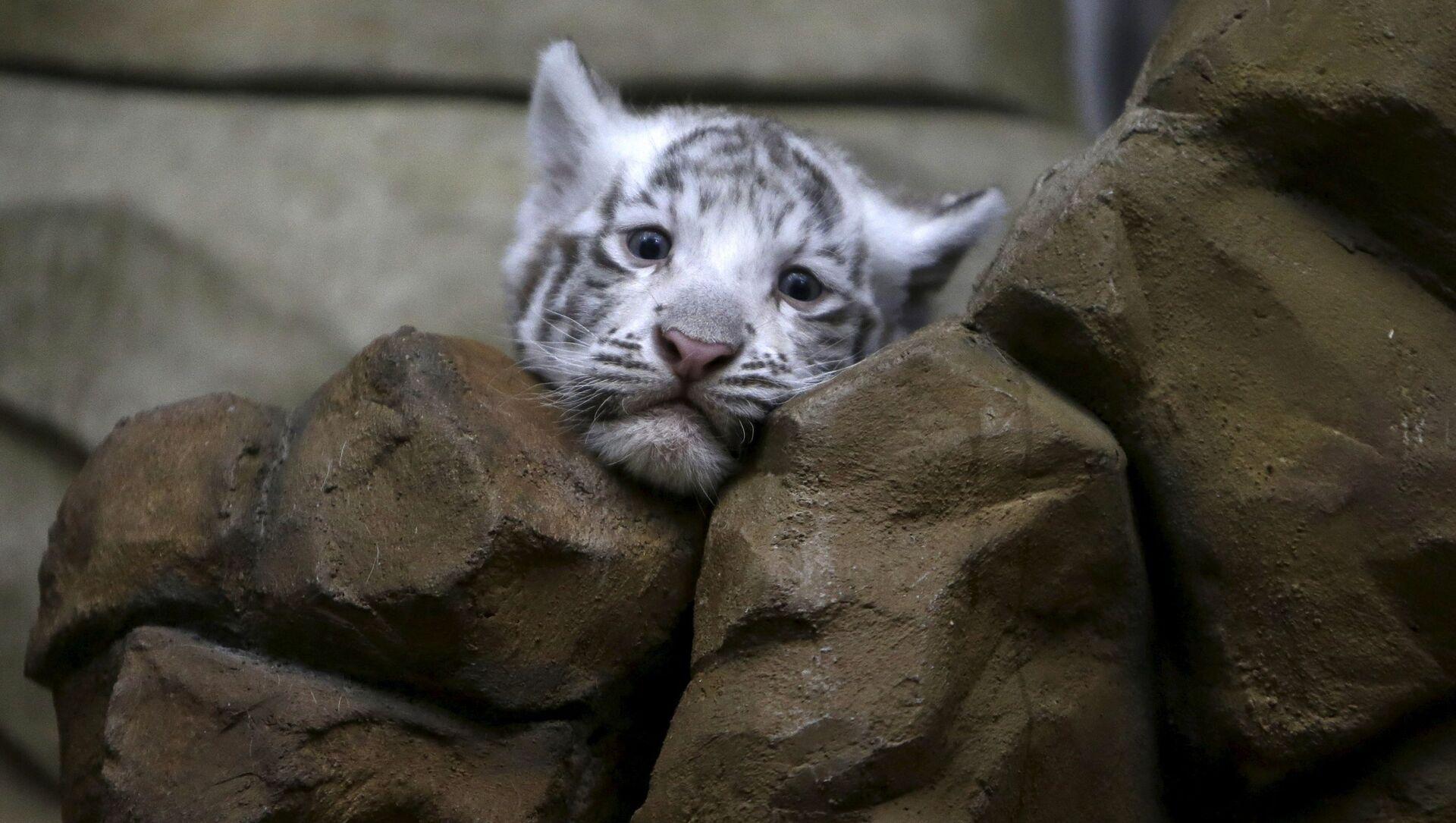 Белый индийский тигренок в зоопарке города Либерец в Чехии - Sputnik 日本, 1920, 14.02.2021
