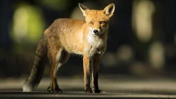 猫の代わりに狐を飼うとどうなるの? - Sputnik 日本