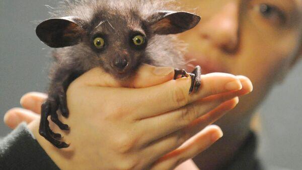 アイアイ、マダガスカルで悪魔の化身と畏れられるのはなぜ? - Sputnik 日本