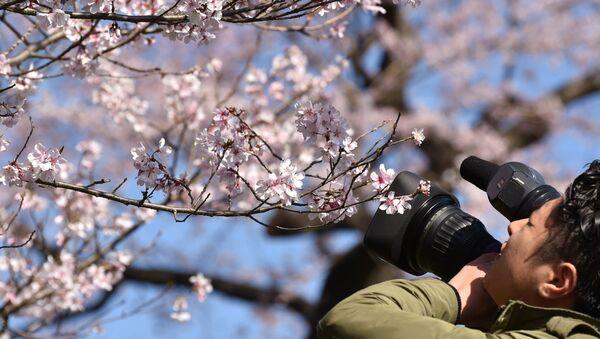 A television cameraman films cherry blossoms - Sputnik 日本