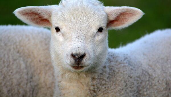 南アフリカの村で「半人半羊」が生まれる - Sputnik 日本