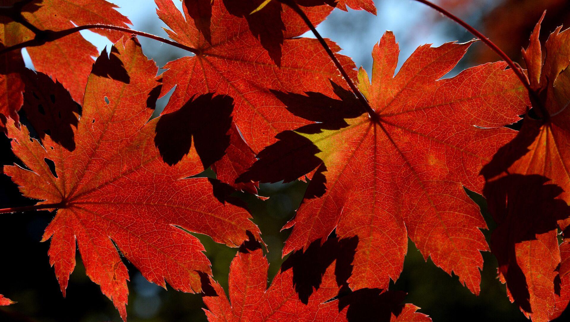 葉が黄色く紅葉せず、例年より早く枯れる 新たな気候問題の地球温暖化がその原因 - Sputnik 日本, 1920, 01.10.2021