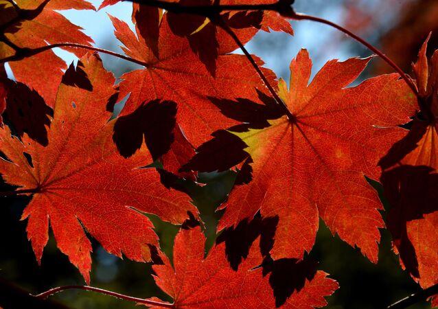 葉が黄色く紅葉せず、例年より早く枯れる 新たな気候問題の地球温暖化がその原因