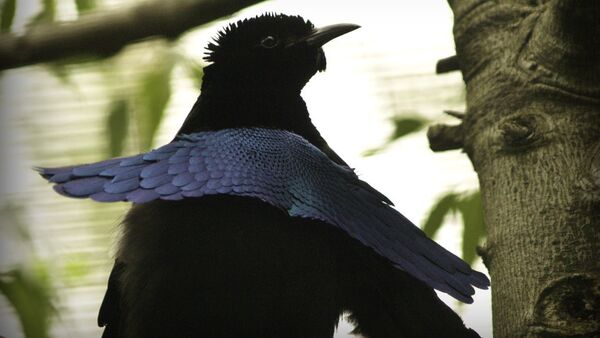 Чудная райская птица - Sputnik 日本