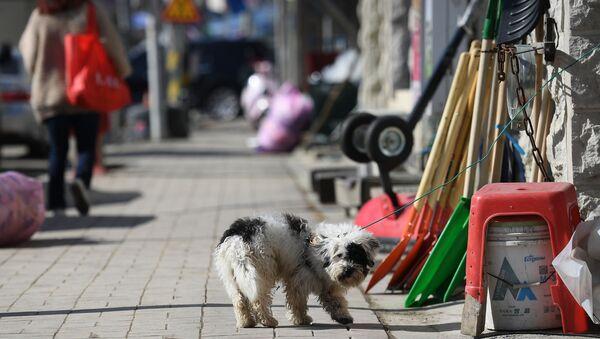 Собака на одной из улиц в городе Пхенчхан в Республике Корея - Sputnik 日本