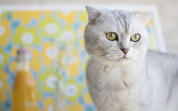 スコティッシュ系のネコ - Sputnik 日本